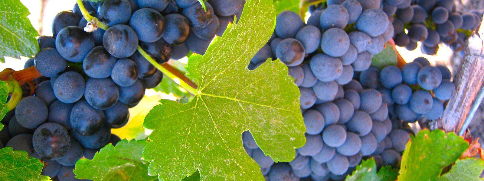 Concord grapes on a vine.