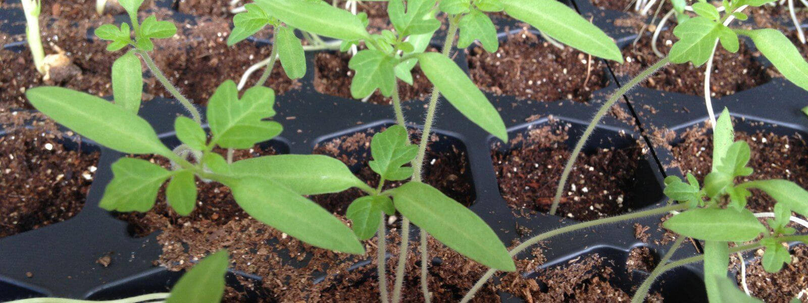 Seedlings in a planting tray.