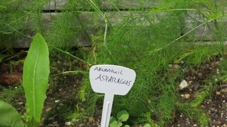 """Infantile asparagus plantings and a small sign with text """"Argenteuill Asparagus."""""""