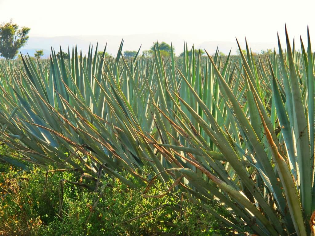 Agave plants in a field.