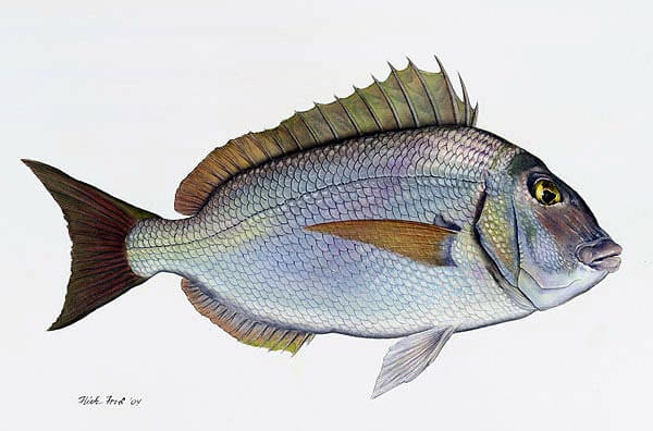 Drawing of bream.