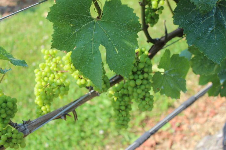 Grapes on a vine.