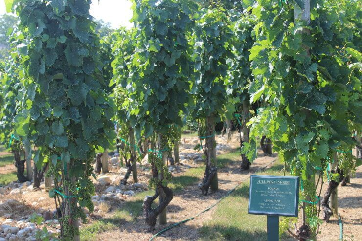 Grapevines at Wolffer Estate.