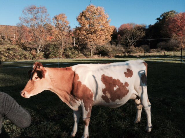 Isadora the brown and white cow.