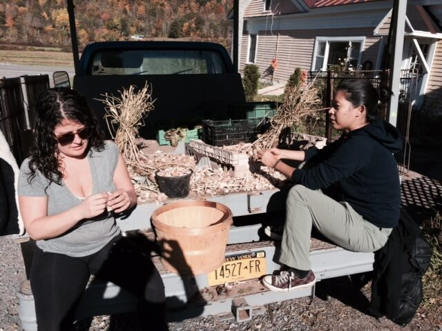 Two woman breaking apart trays of garlic.