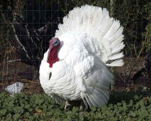 A Beltsville Small White turkey from the Good Shepherd Turkey Ranch near Lindsborg, Kansas. Photo by Craig Hacker