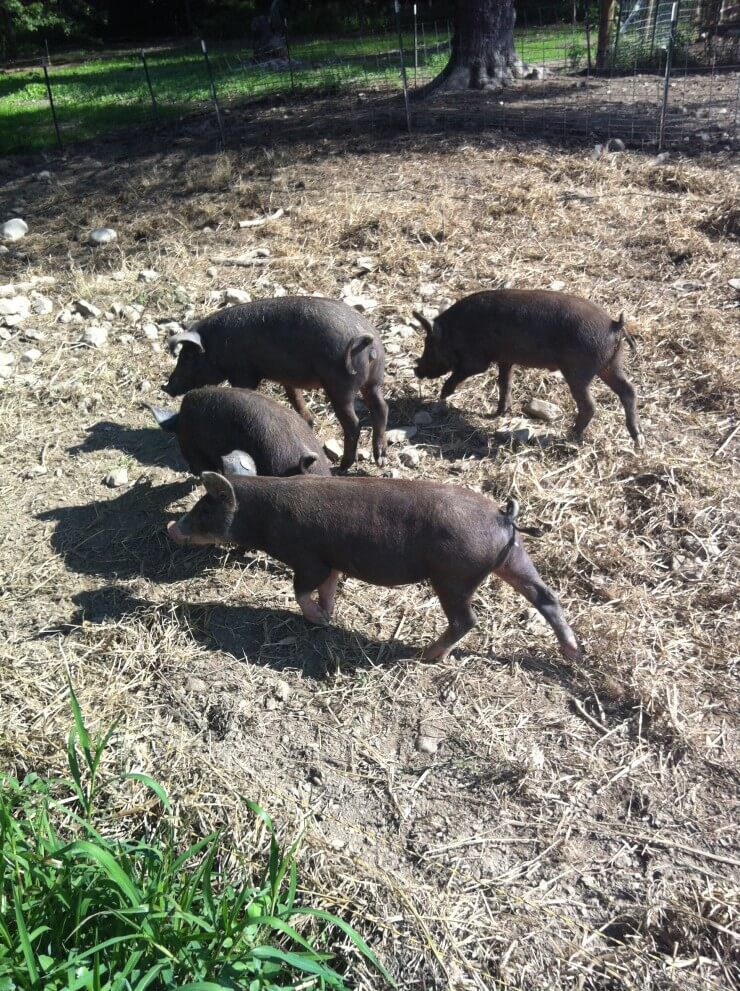 4 Berkshire pigs outdoors.