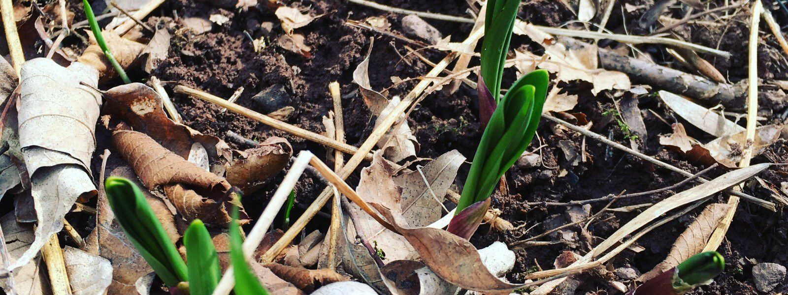 Ramps shoots in the forest floor.