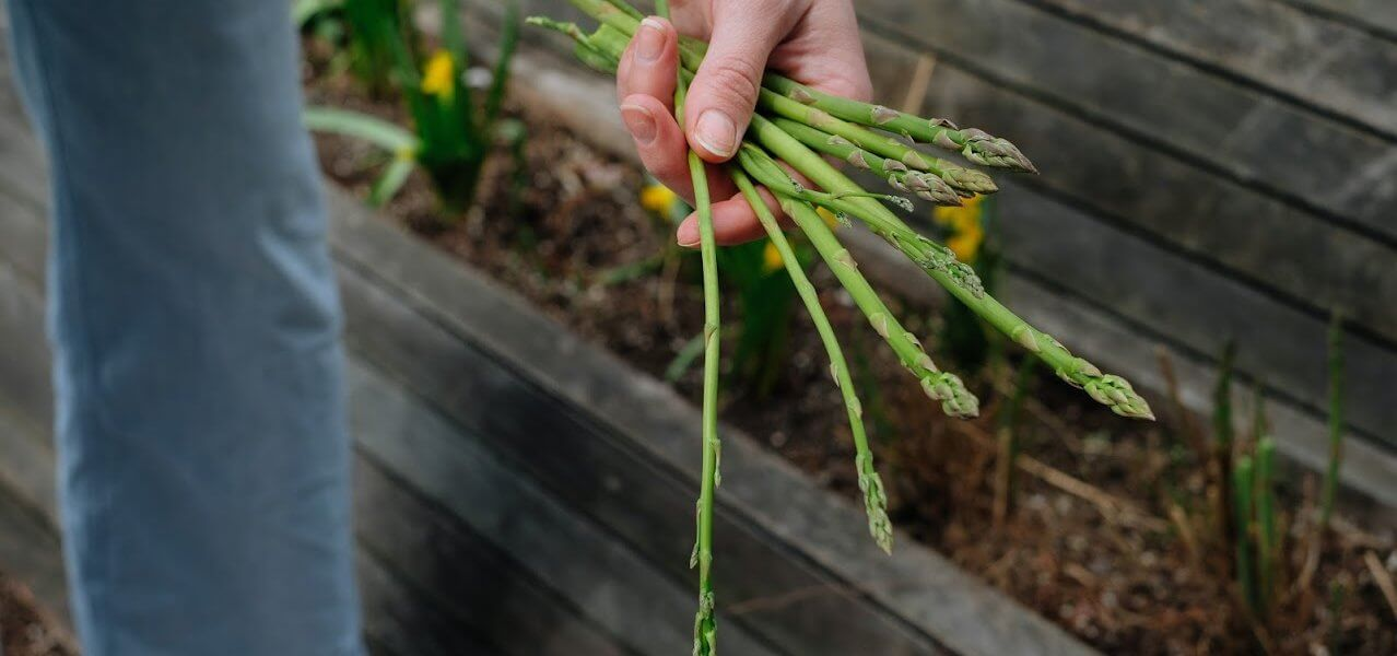 A hand holding several spears of asparagus.