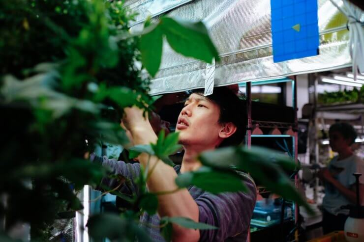 An ICE student looking working with plants in the hydroponic growing room.