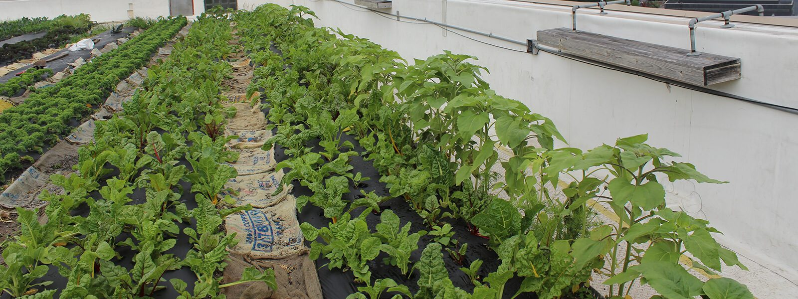 Plantings at Brooklyn Grange Rooftop Farm.