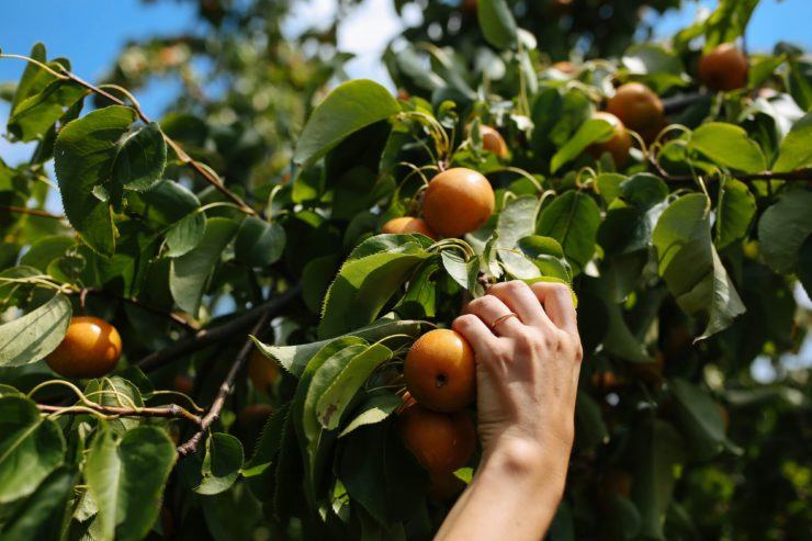 A hand picking Asian pears from a tree.