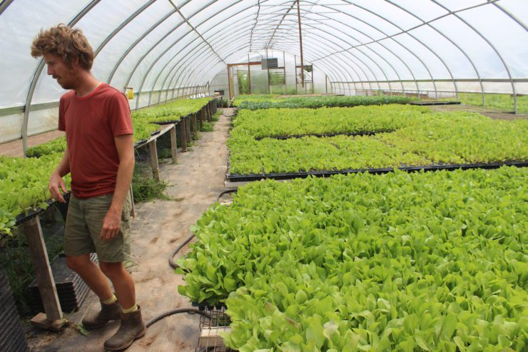 Chris in the greenhouse filled with chicory to be planted outdoors.