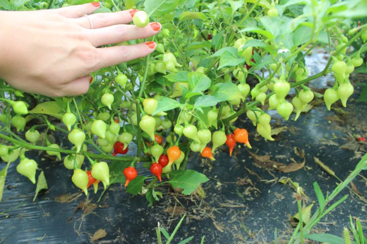 A hand showing bird's beak peppers on the vine.