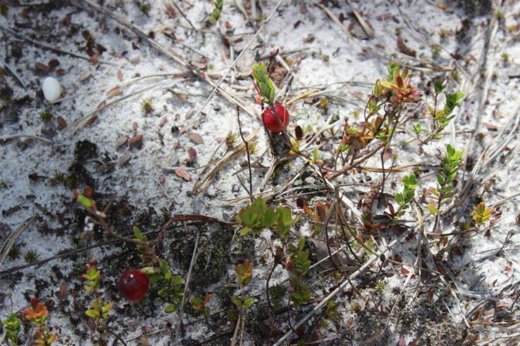 Wild cranberries in the sandy soil.