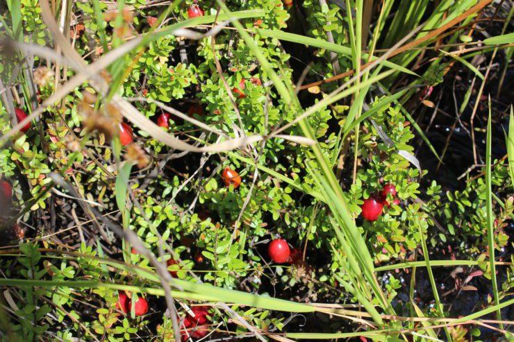Ripe cranberries before picking.