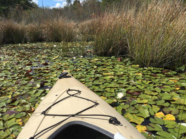 Kayaking in the bog amount lilypads.