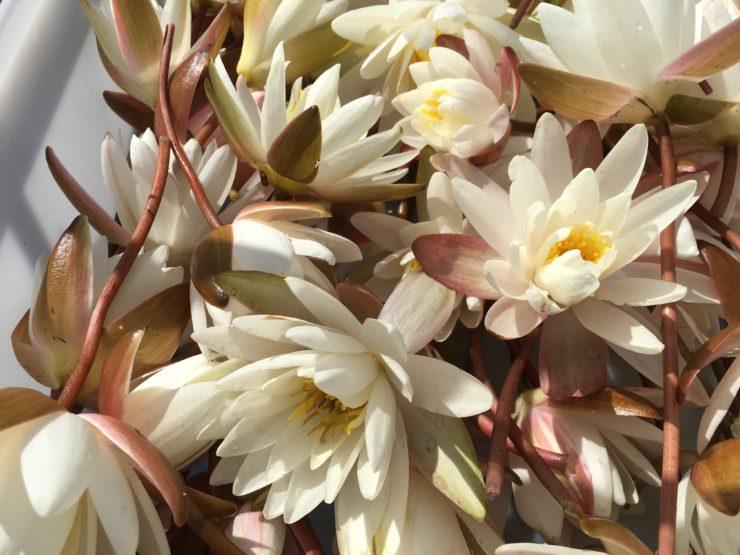 Closeup of water lilies.