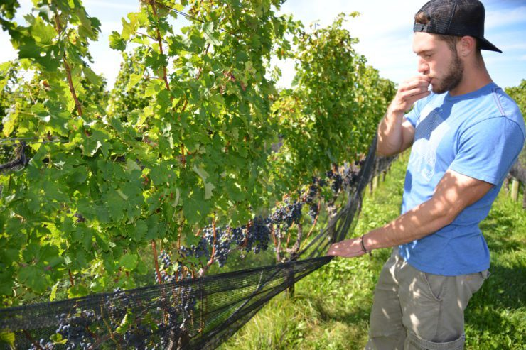 Man tasting wine grapes off the vine.