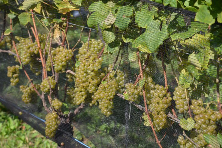 Pinot blanc grapes on the vine.