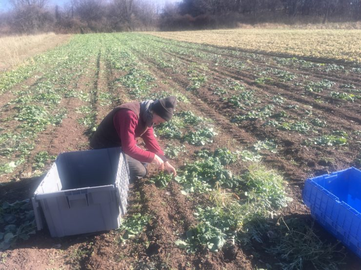 Meghan cutting greens for harvesting.