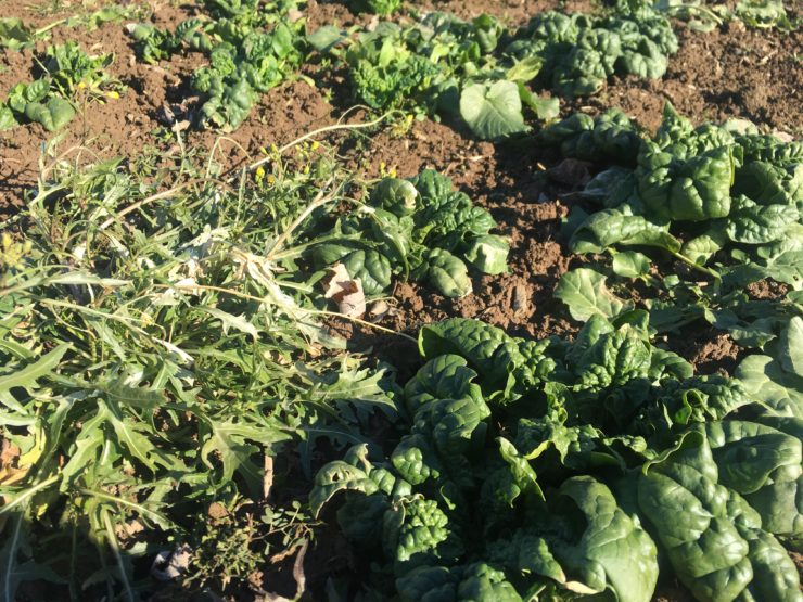 Closeup of greens in the field.
