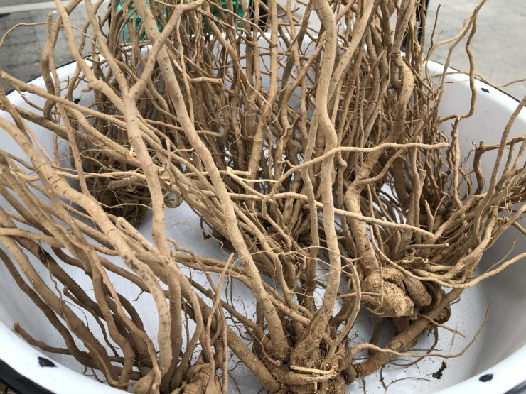Ashwaganda roots in a bin.