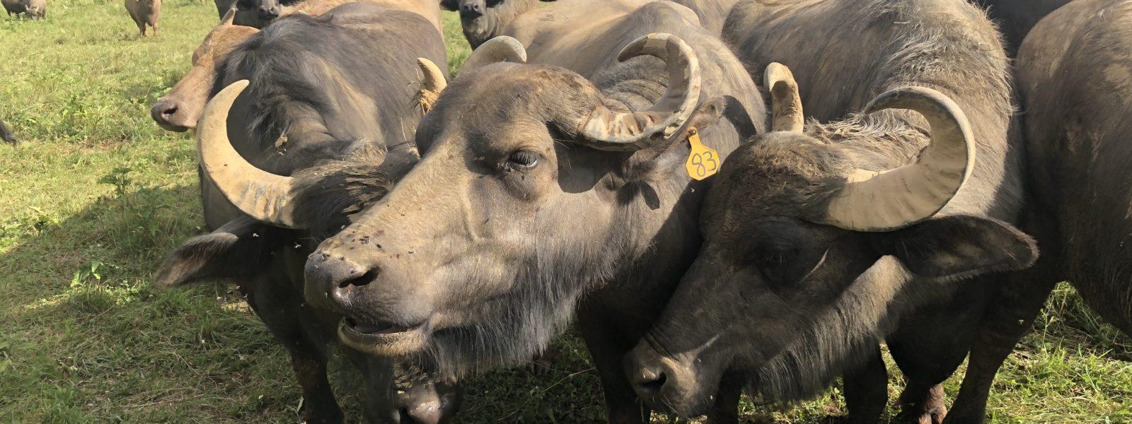 Water buffalo group in a field.