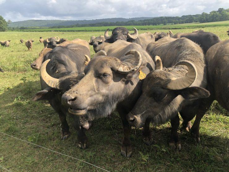 Group of water buffalo up close.