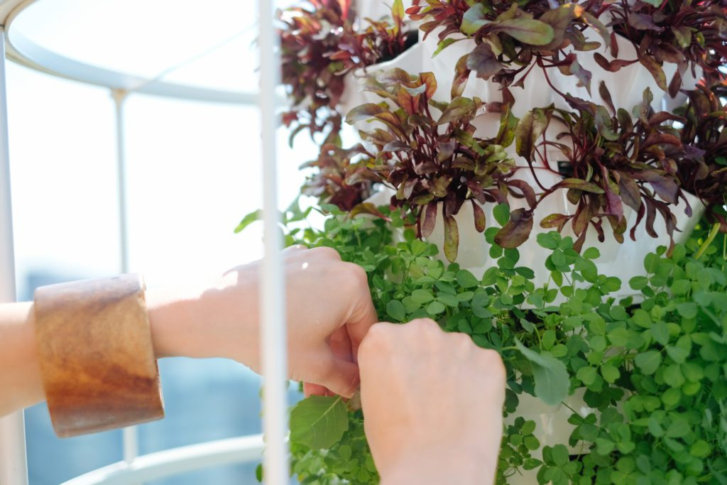Two hands picking greens from Press Lounge rooftop garden planters.