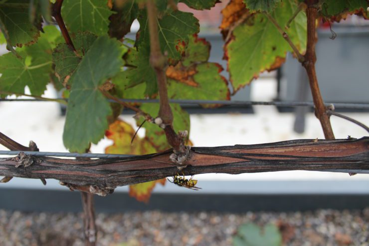 A bee on a grapevine.