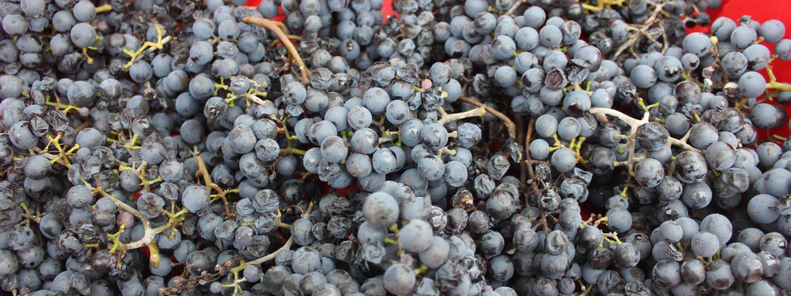Concord grapes.