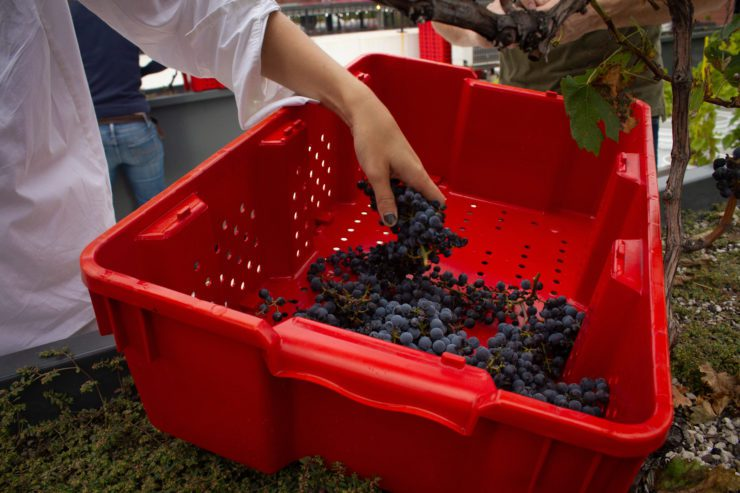 Hand placing Concord grapes into a red container.