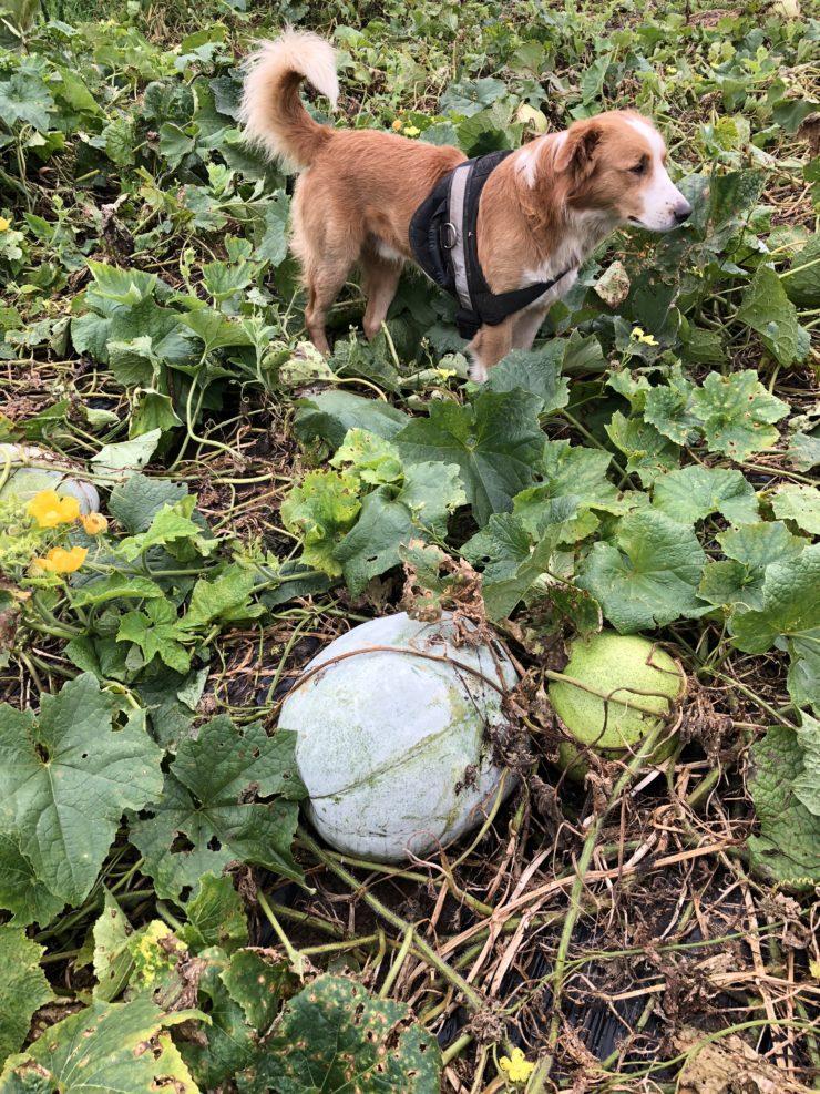 Heirloom gourds and the Gopal farm dog.