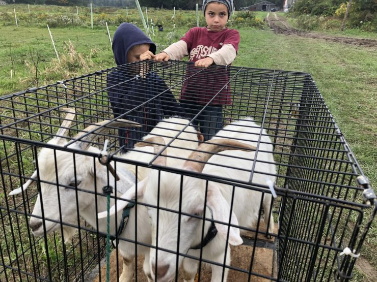 Two children with two penned white goats.