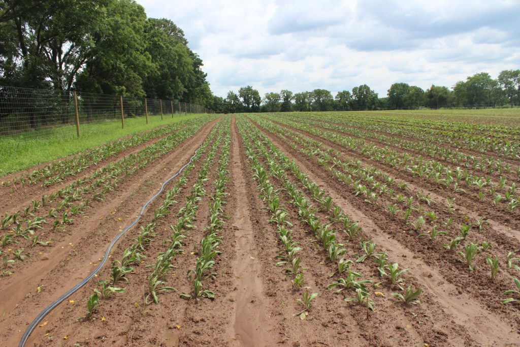 Rows of green shoots on a farm.