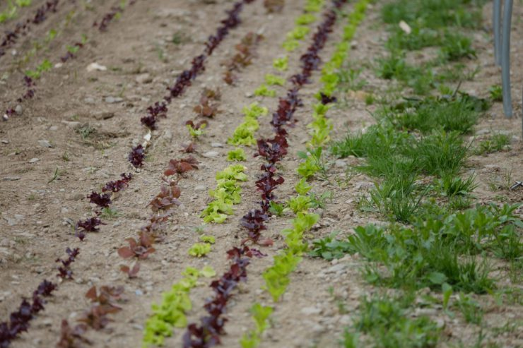 Rows of lettuce at Farm Tournant.