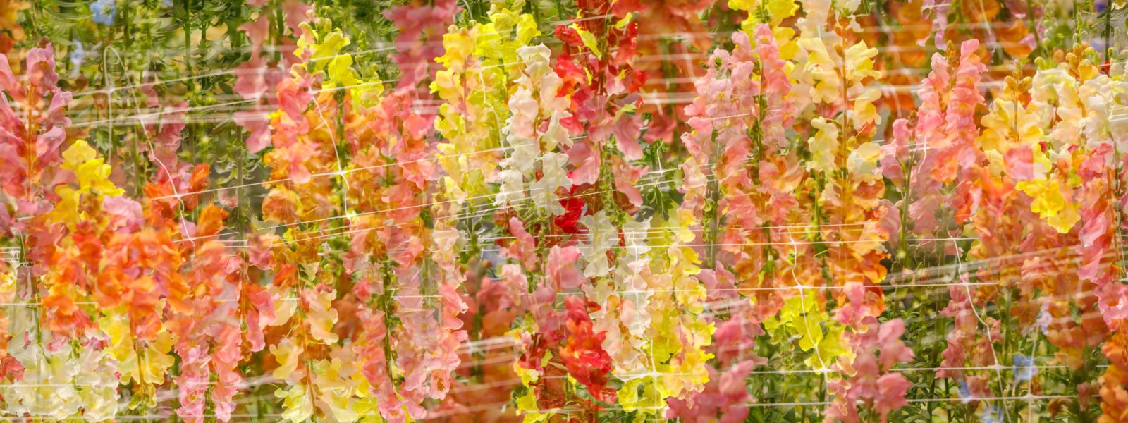 Red, pink, and yellow flowers at Willow Wisp Farm.